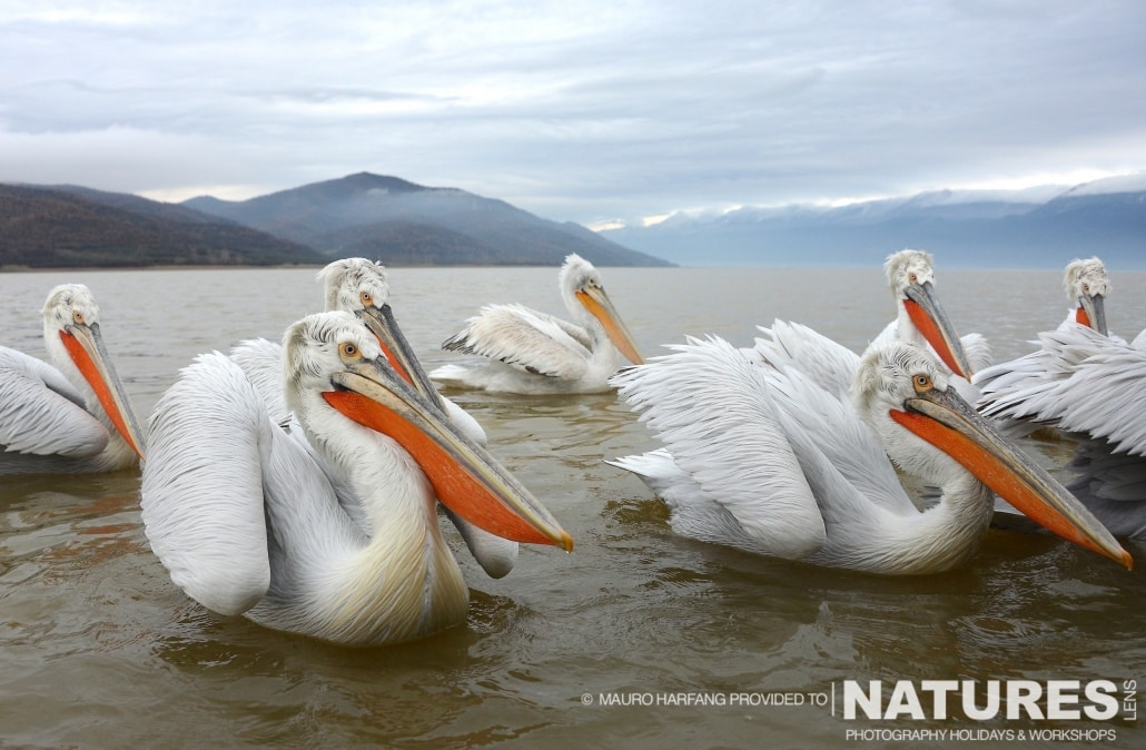 A group of Kerkini's Dalmatian Pelicans - photographed by Mauro Harfang during the 2016 NaturesLens Dalmatian Pelican Photography Holiday