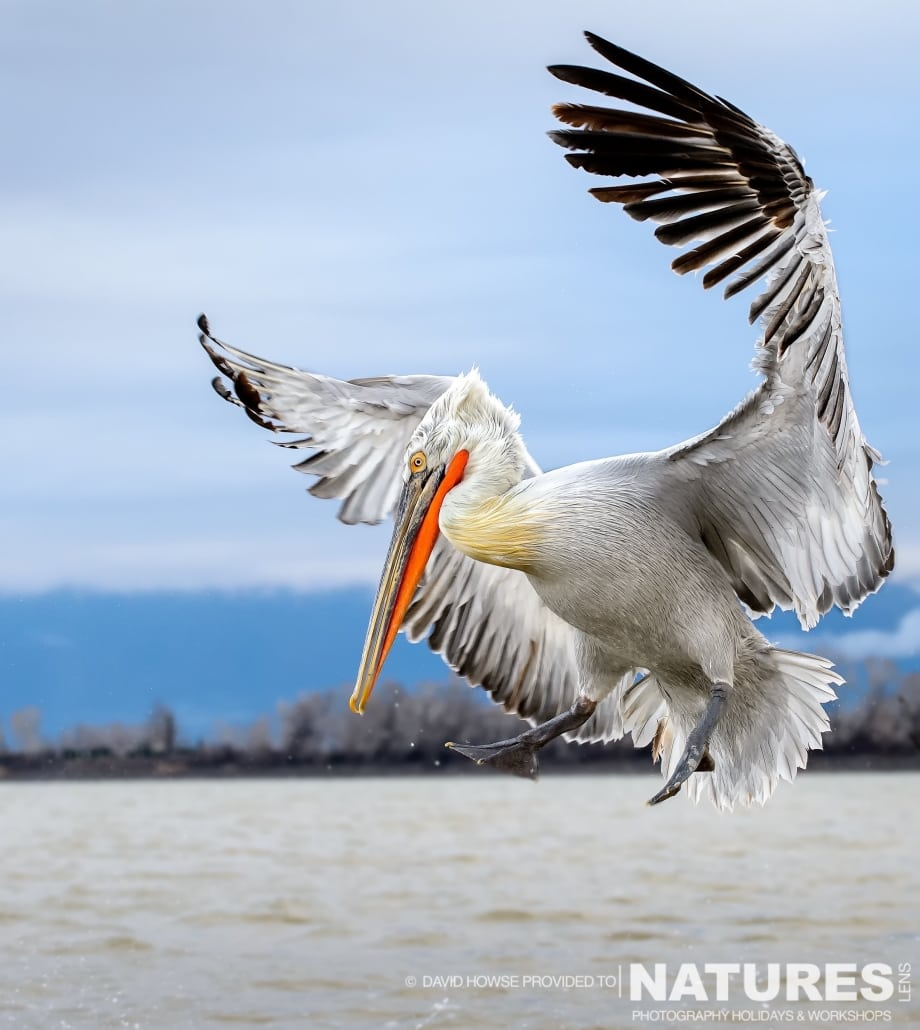 A landing Dalmatian Pelican - photographed by David Howse during the 2016 NaturesLens Dalmatian Pelican Photography Holiday