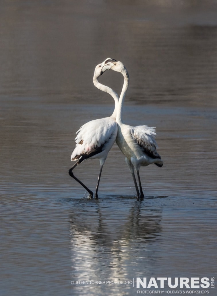 A pair of Kerkini's flamingos - photographed by Steen Torner during the 2016 NaturesLens Dalmatian Pelican Photography Holiday