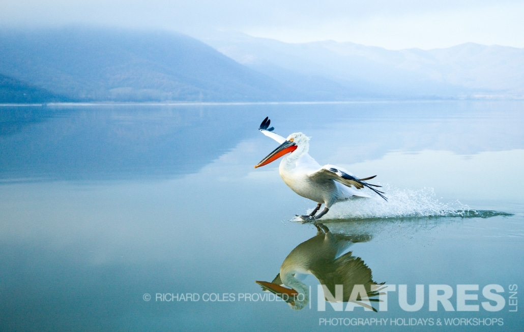 A single Dalmatian Pelican lands & breaks the perfect mirror-like surface of the lake - photographed by Richard Coles during the 2016 NaturesLens Dalmatian Pelican Photography Holiday