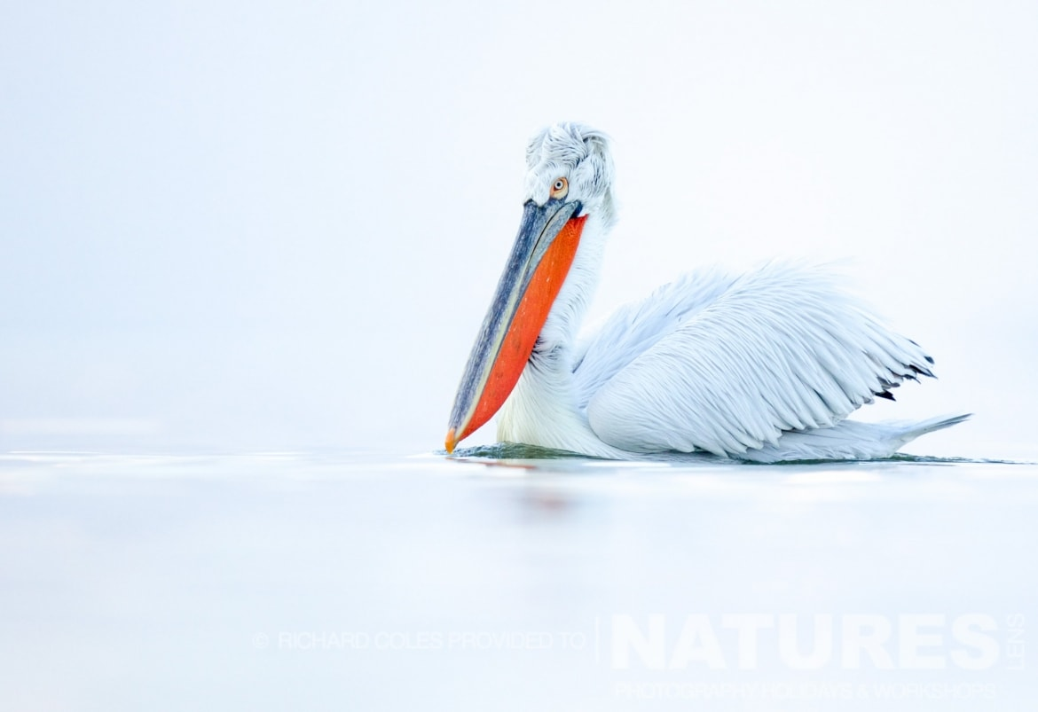 A solitary Dalmatian Pelican floats serenely on the milky lake photographed by Richard Coles during the 2016 NaturesLens Dalmatian Pelican Photography Holiday