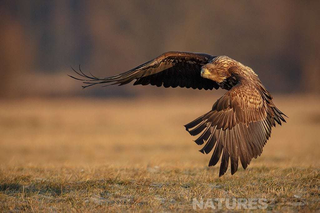 A swooping White Tailed Sea Eagle - photographed in Poland by a NaturesLens guide