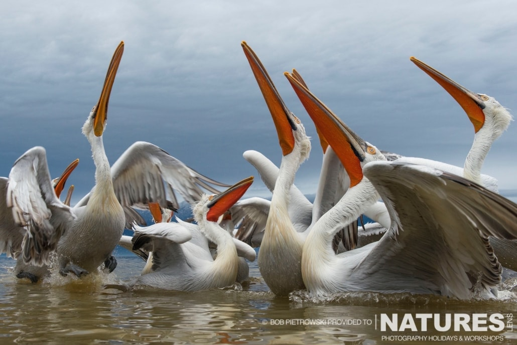 All the Dalmatian Pelicans look up - photographed by Bob Pietrowski during the 2016 NaturesLens Dalmatian Pelican Photography Holiday