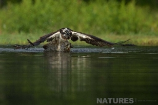 An osprey pulls itself from the water with a trout grasped in it's talons - photographed on a NaturesLens Wildlife Photography Holiday