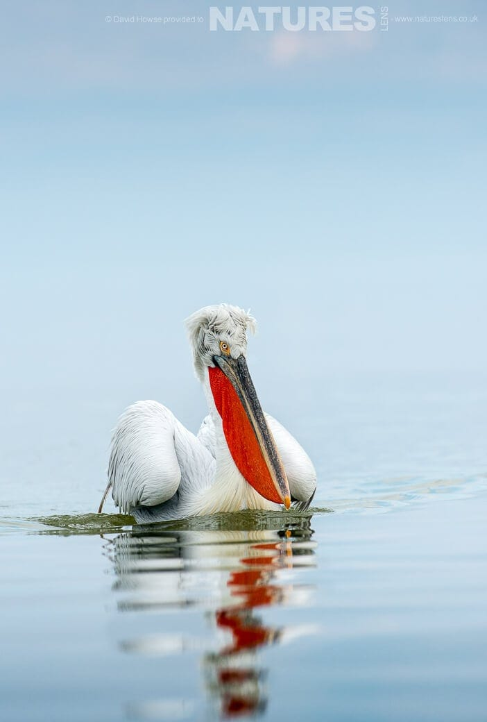 David Howse Dalmatian Pelican image photographed on a NaturesLens January Dalmatian Pelicans Photography Holiday
