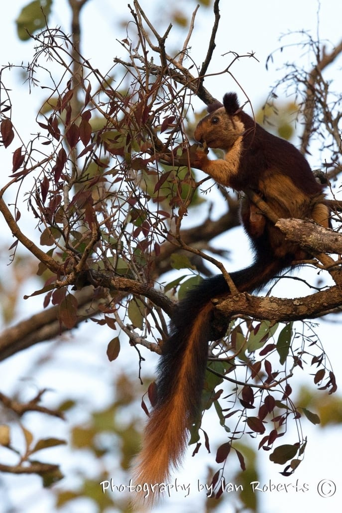 Giant Squirrel photographed by Ian Roberts whilst on a NaturesLens Photography Holiday in India