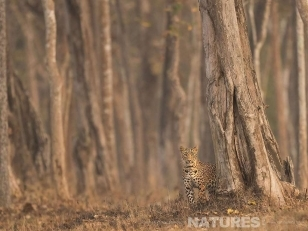 One of Kabini's famous leopards hiding amongst the Nagarhole Forest photographed on a Leopards of Kabini Photography Holiday