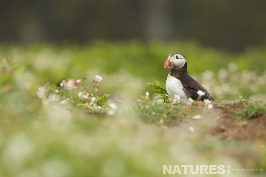 One of Skomers famous Puffins at The Wick - photographed on a NaturesLens Puffins Photography Holiday