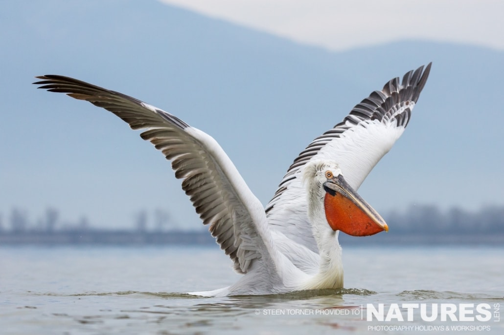One of the Dalmatian Pelicans with outstretched wings - photographed by Steen Torner during the 2016 NaturesLens Dalmatian Pelican Photography Holiday