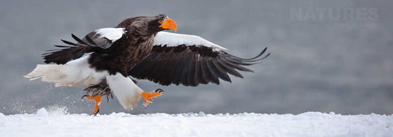 One of the Steller's Sea Eagles photographed on the NaturesLens Japanese Winter Wildlife Photography Holiday
