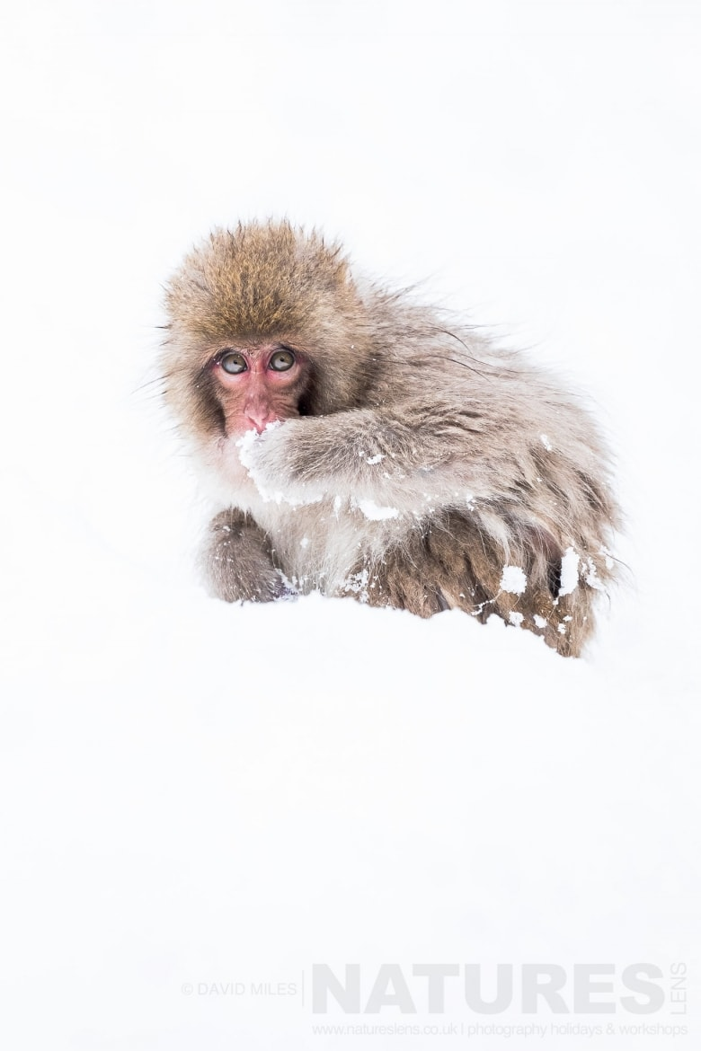 One of the young snow monkeys found in the Jigokudani Valley photographed on the NaturesLens Japanese Winter Wildlife Photography Holiday