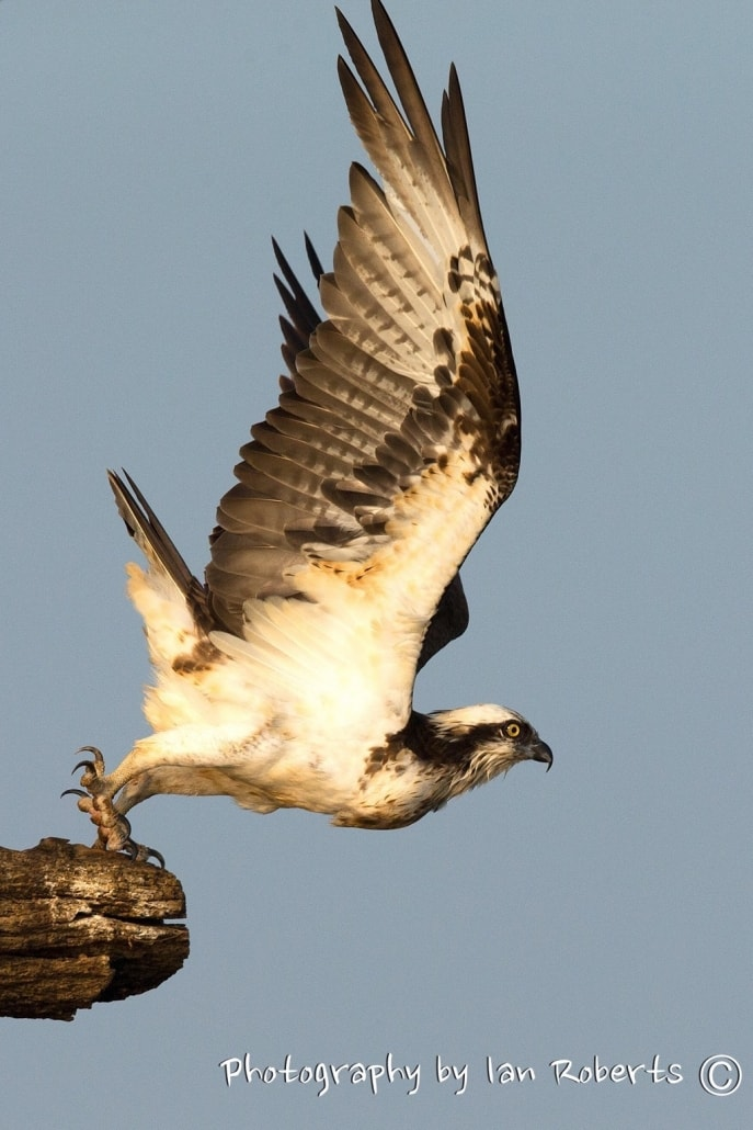 Osprey photographed by Ian Roberts whilst on a NaturesLens Photography Holiday in India