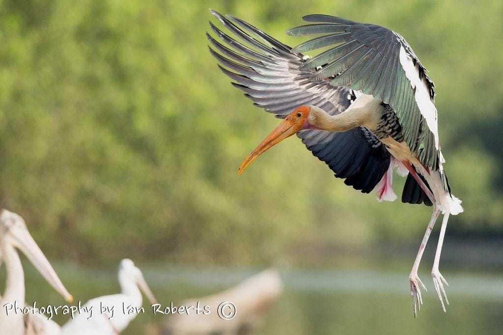 Painted Stork Landing photographed by Ian Roberts whilst on a NaturesLens Photography Holiday in India
