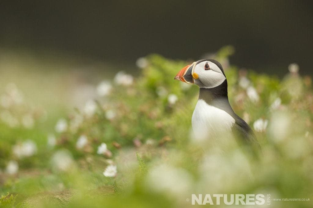 Puffin amongst the ground cover of The Wick on Skomer Island - photographed on a NaturesLens Puffins Photography Holiday