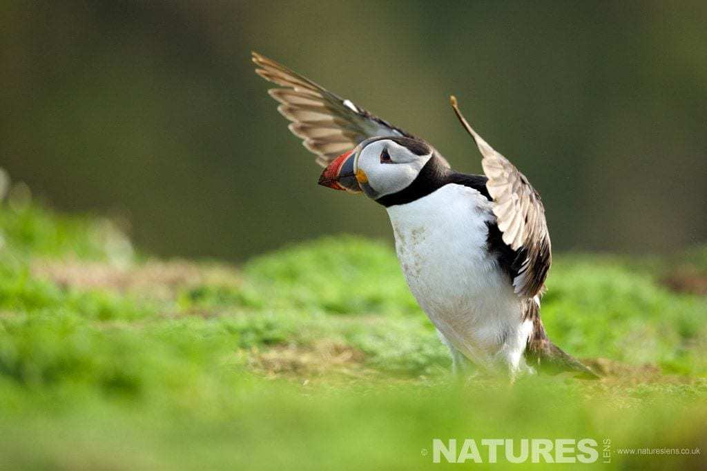 Puffin on Skomer stretches its wings prior in the soft evening light - photographed on a NaturesLens Skomer Photography Holiday