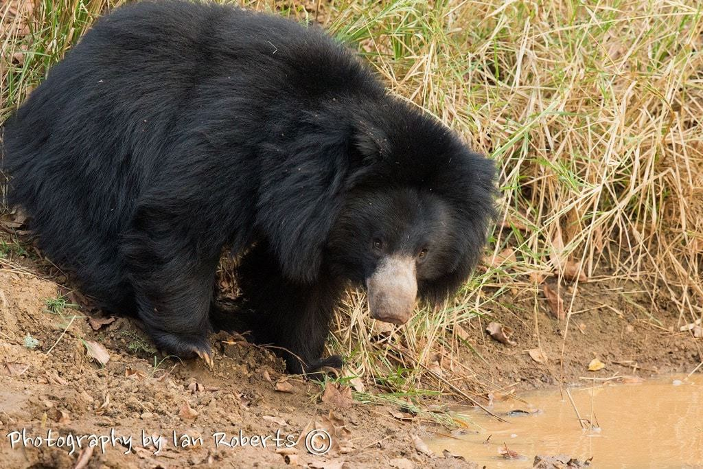 Sloth Bear photographed by Ian Roberts whilst on a NaturesLens Photography Holiday in India