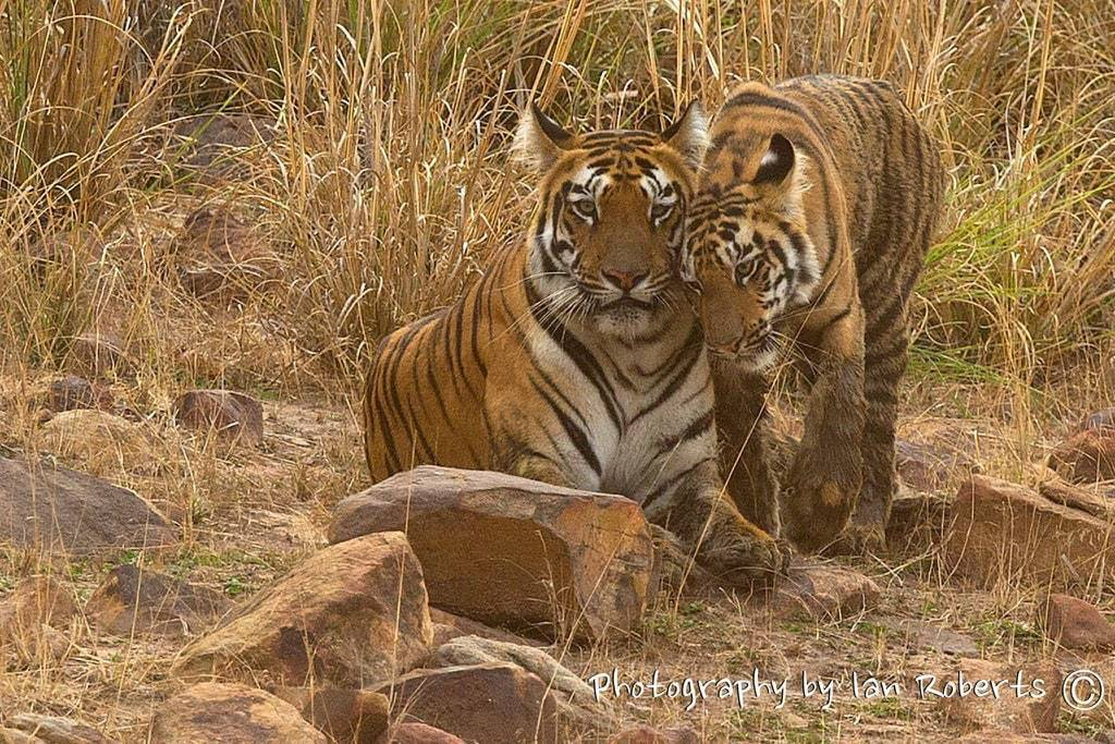 Sonam's Cub photographed by Ian Roberts whilst on a NaturesLens Photography Holiday in India