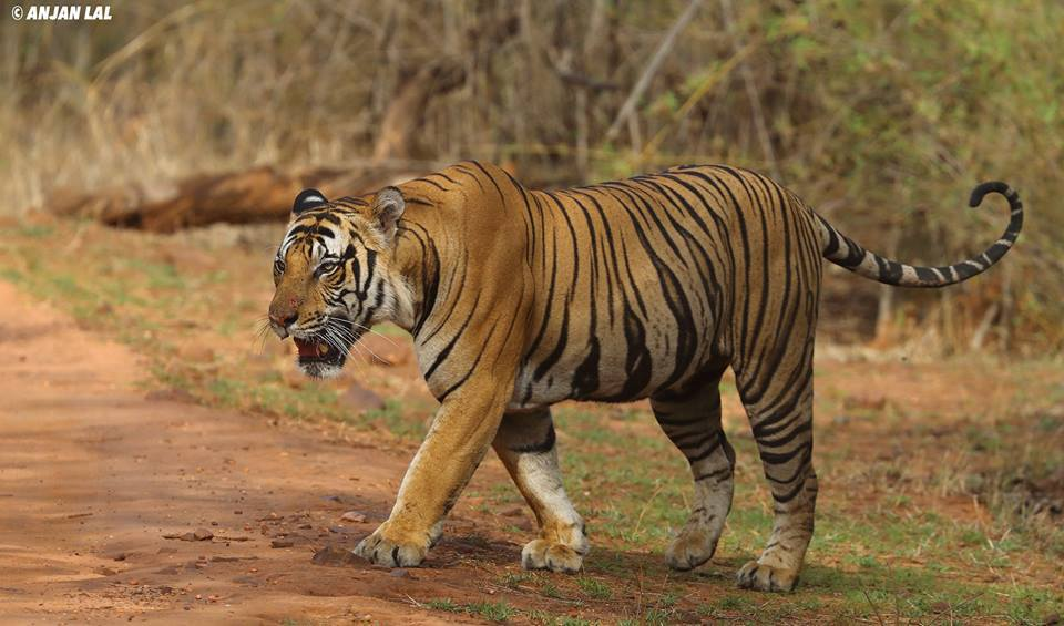 The Massive Mahaman Male Tiger observed in the Magdhi Zone of Bandhavgarh Tiger Reserve - photographed by Anjan Lal - join NaturesLens in April 2017 on a wildlife photography tour to Bandhavgarh