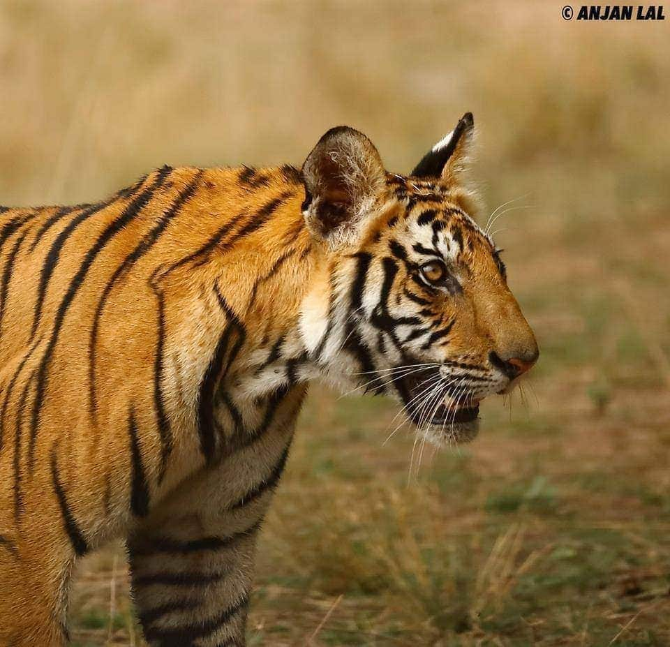 The Rajbehera female's male cub - photographed by Anjan Lal - join NaturesLens in April 2017 on a wildlife photography holiday to Bandhavgarh