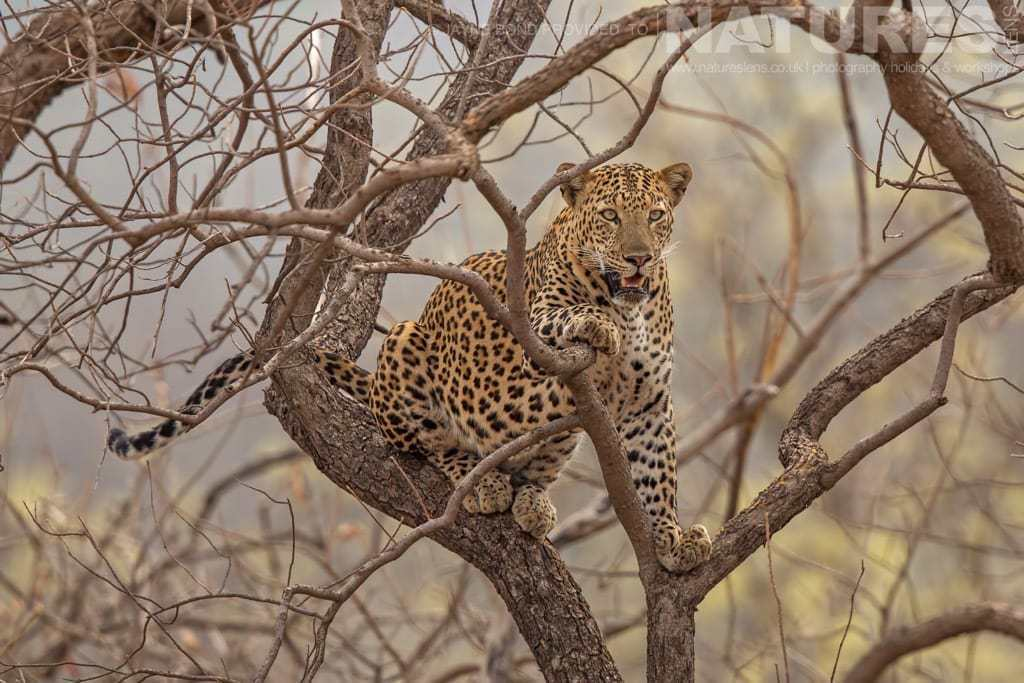 A leopard that had been chased up a tree by a tiger photographed in Tadoba during a NaturesLens Photography Holiday in India