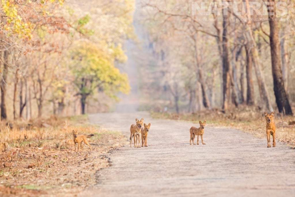 A pack of dhole or wild dog photographed in Tadoba during a NaturesLens Photography Holiday in India