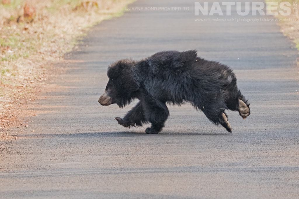 A Sloth Bear runs across the road photographed in Tadoba during a NaturesLens Photography Holiday_in_India