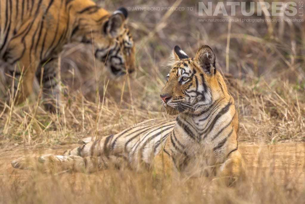 a tiger family photographed in tadoba during a natureslens photography holiday in india