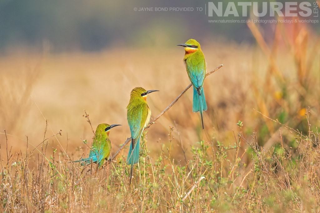 Bee Eaters photographed at a location near Mysore during a NaturesLens Photography Holiday in India