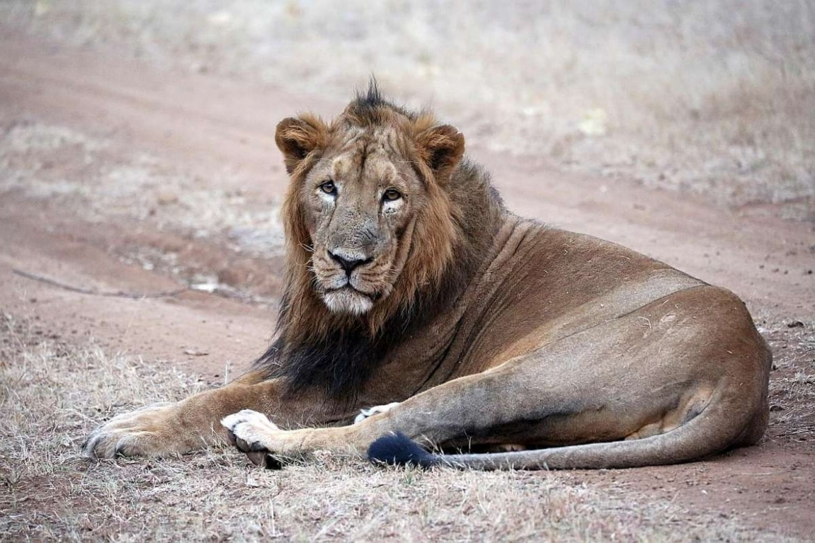 gir asiatic lion