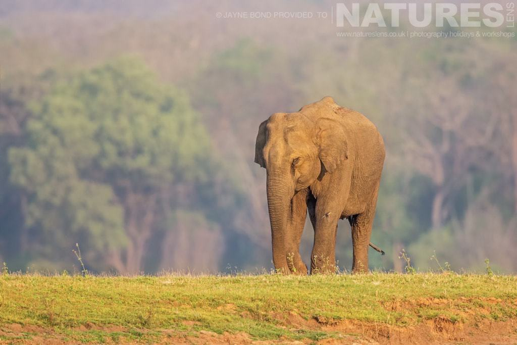 One of Kabini's Elephants photographed in golden evening light on a NaturesLens Photography Holiday in India