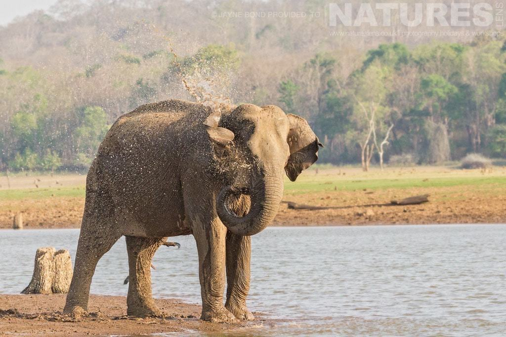 One of Kabini's Elephants photographed on a NaturesLens Photography Holiday in India