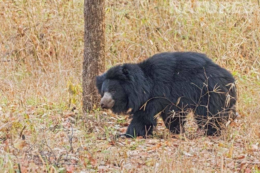 One of Tadoba's Sloth Bears photographed during a NaturesLens Photography Holiday in India