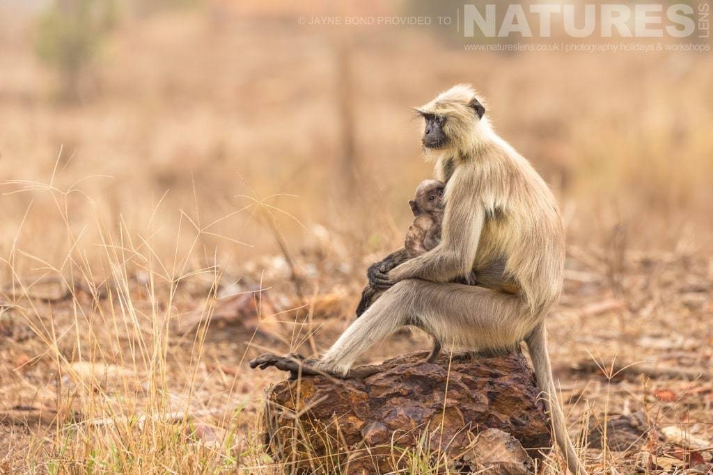 One of the many Langur monkey mothers photographed on a NaturesLens Photography Holiday in India