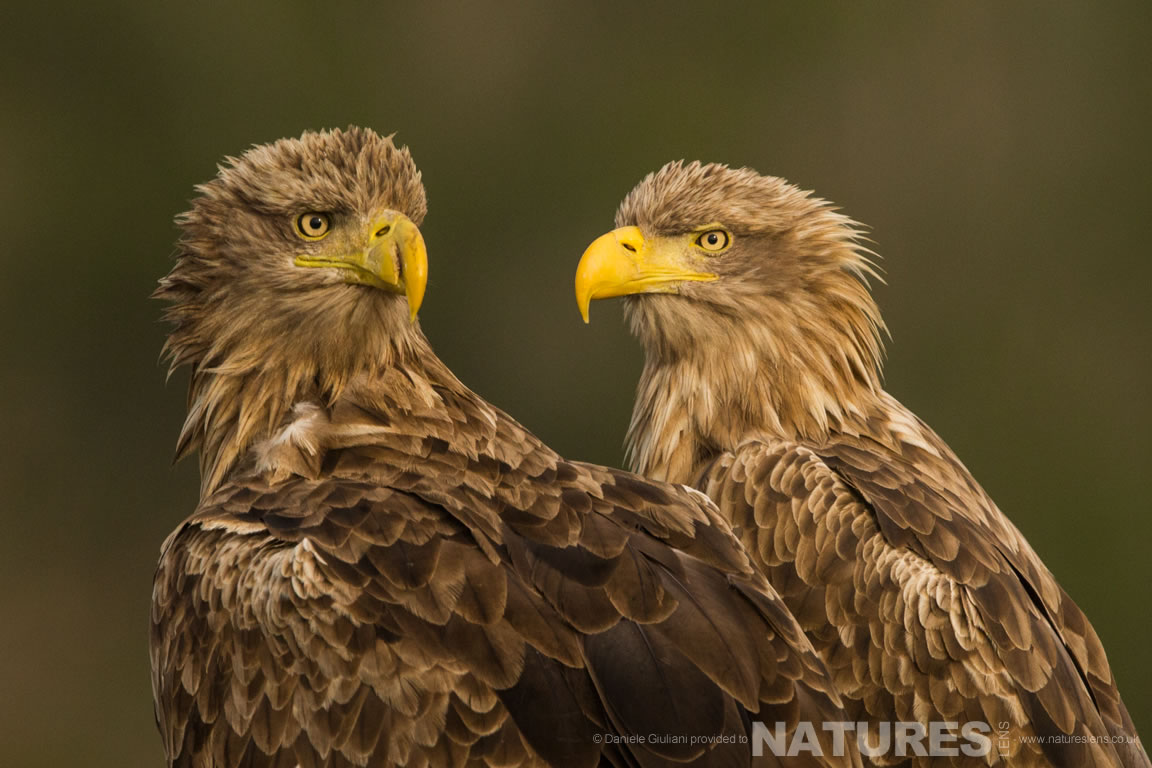 A pair of White Tailed Eagles photographed at the hides used on the NaturesLens Ultimate Danube Wildlife Photography Holiday