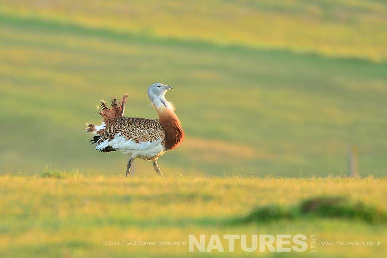 Great Bustard at Sunrise photographed in Calera from the hides used on the NaturesLens Birds of Spain Photgraphy Holiday
