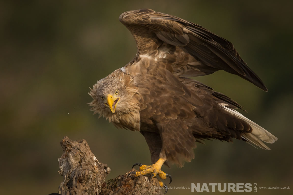 One of the many White Tailed Eagles that frequent the hides used on the NaturesLens Ultimate Danube Wildlife Photography Holiday