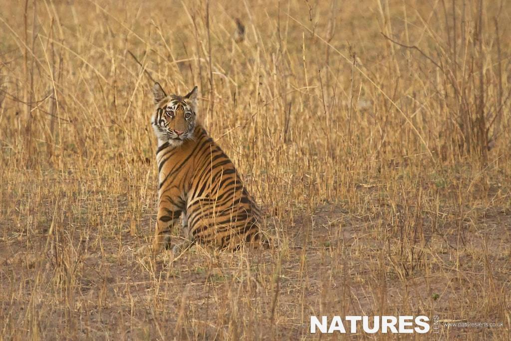 Bengal Tiger Cub sat in long grass - photographed on a NaturesLens Tigers of Bandhavgarh Photography Holiday