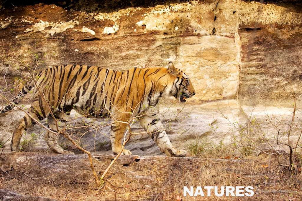 Bengal Tiger walking along a rocky outcrop inside Bandhavgarh National Park - photographed on a NaturesLens Tigers of Bandhavgarh Photography Holiday