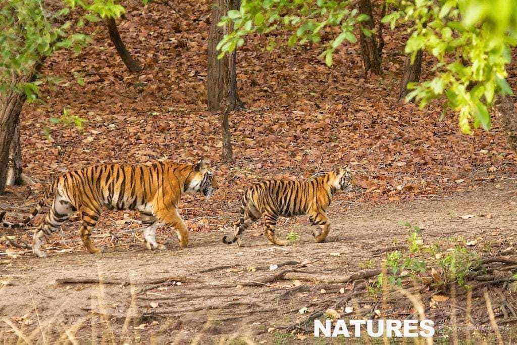Bengal tiger and her cub walking through Bandhavgarh National Park - photographed on a NaturesLens Tigers of Bandhavgarh Photography Holiday