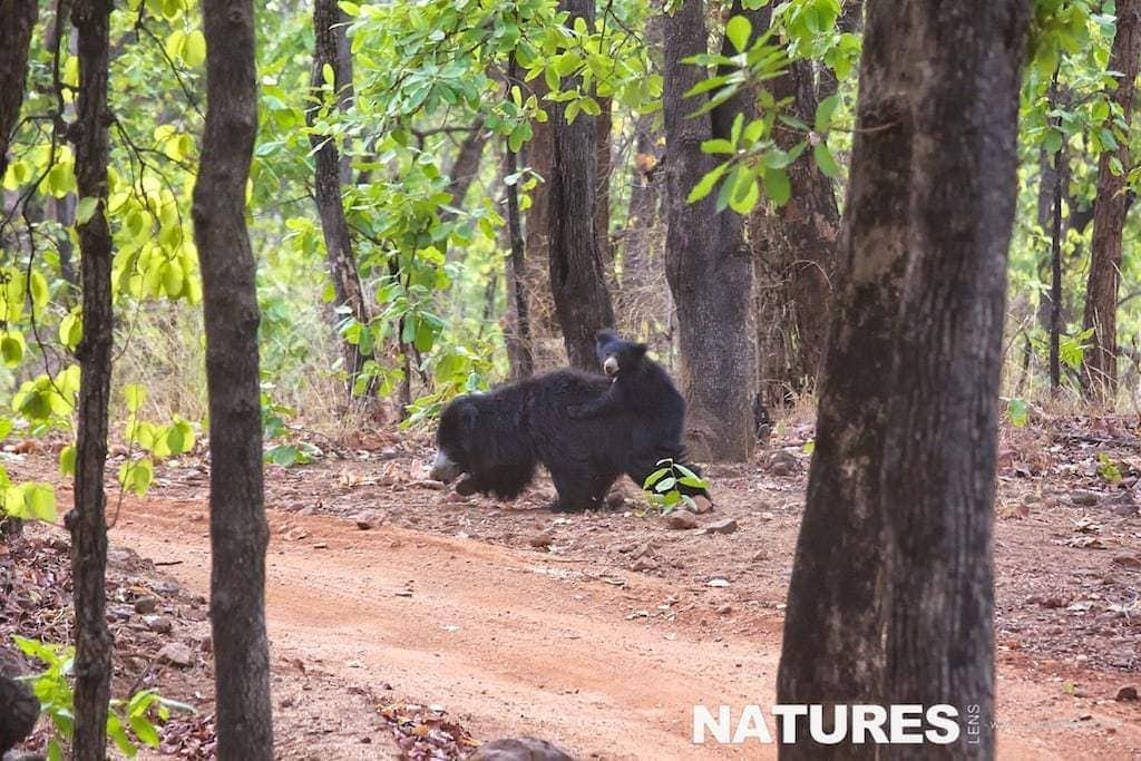 Sloth Bears in Bandhavgarh National Park, where you can also photograph Bengal Tigers - photographed on a NaturesLens Tigers of Bandhavgarh Photography Holiday
