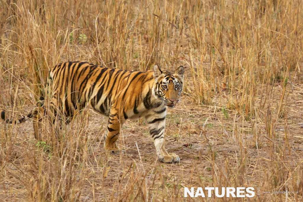 Young Bengal tiger walking in the long grass - photographed on a NaturesLens Tigers of Bandhavgarh Photography Holiday
