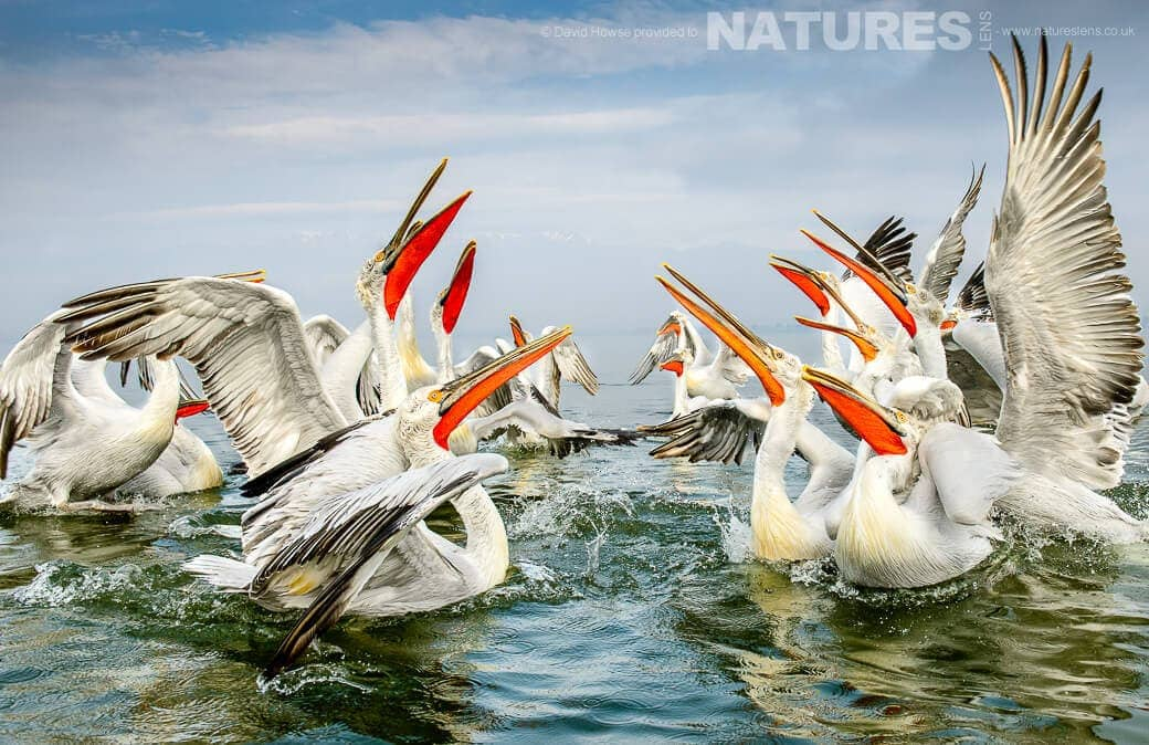 David Howse Dalmatian Pelican Group photographed on a NaturesLens Dalmatian Pelicans of Lake Kerkini Photography Holiday