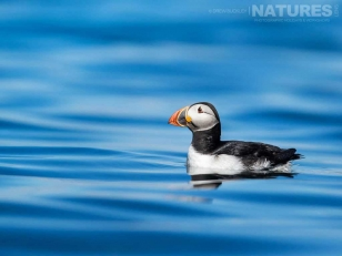 One of the famous North Atlantic Puffins photographed on the sea just off Skomer Island during a NaturesLens Photographic Holiday to Skomer Island