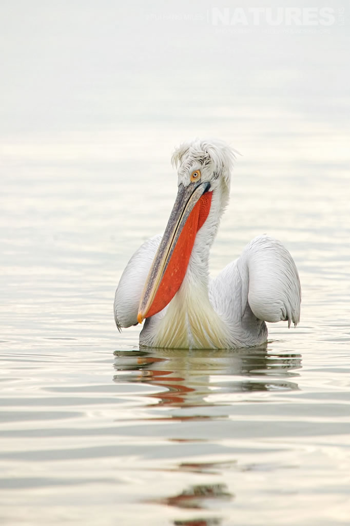 One of the many Dalmatian Pelicans found on Lake Kerkini, here seen in winter plumage, photographed on the NaturesLens Dalmatian Pelicans of Lake Kerkini Photography Holiday