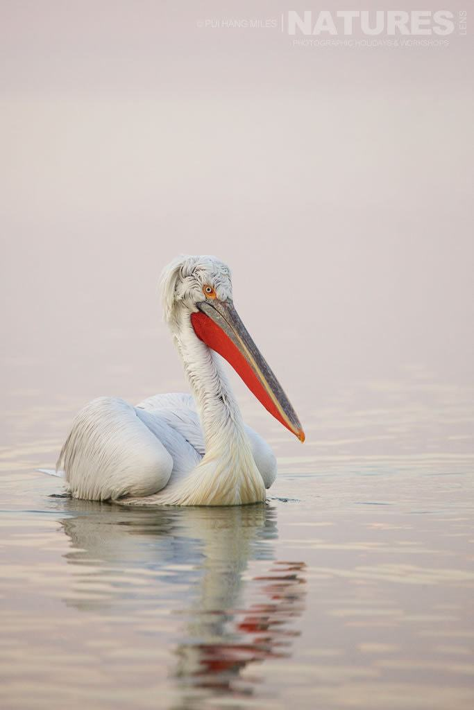 Pink Dalmatian Pelican photographed on the NaturesLens Dalmatian Pelicans of Lake Kerkini Photography Holiday