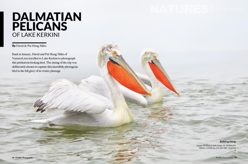 dalmatian pelicans of lake kerkini article by NaturesLens as featured in Wildlife Photographic Magazine in November 2015