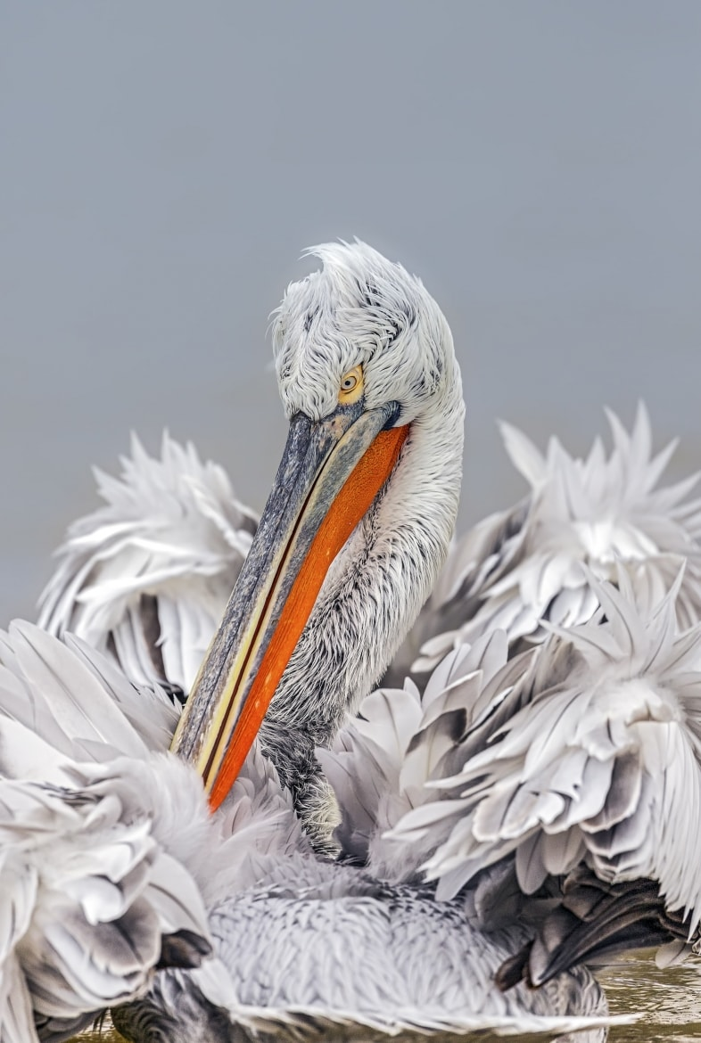 Dalmatian Pelican photographed by Jayne Bond during the 2016 NaturesLens Dalmatian Pelican Photography Holiday