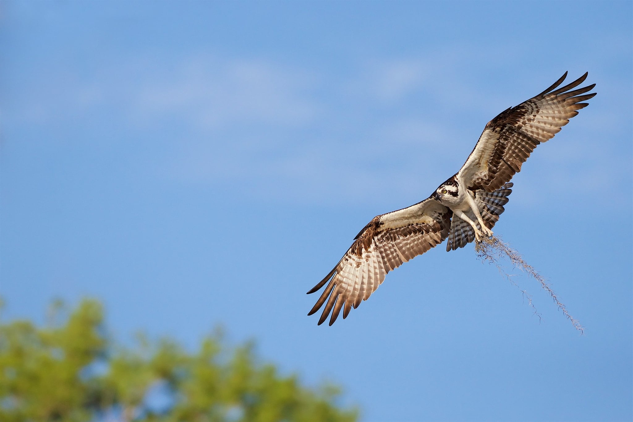 One Of The Ospreys Of Blue Cypress Lake Returns With Nesting Material   Image Captured During The Ospreys Of Blue Cypress Lake Photography Holiday
