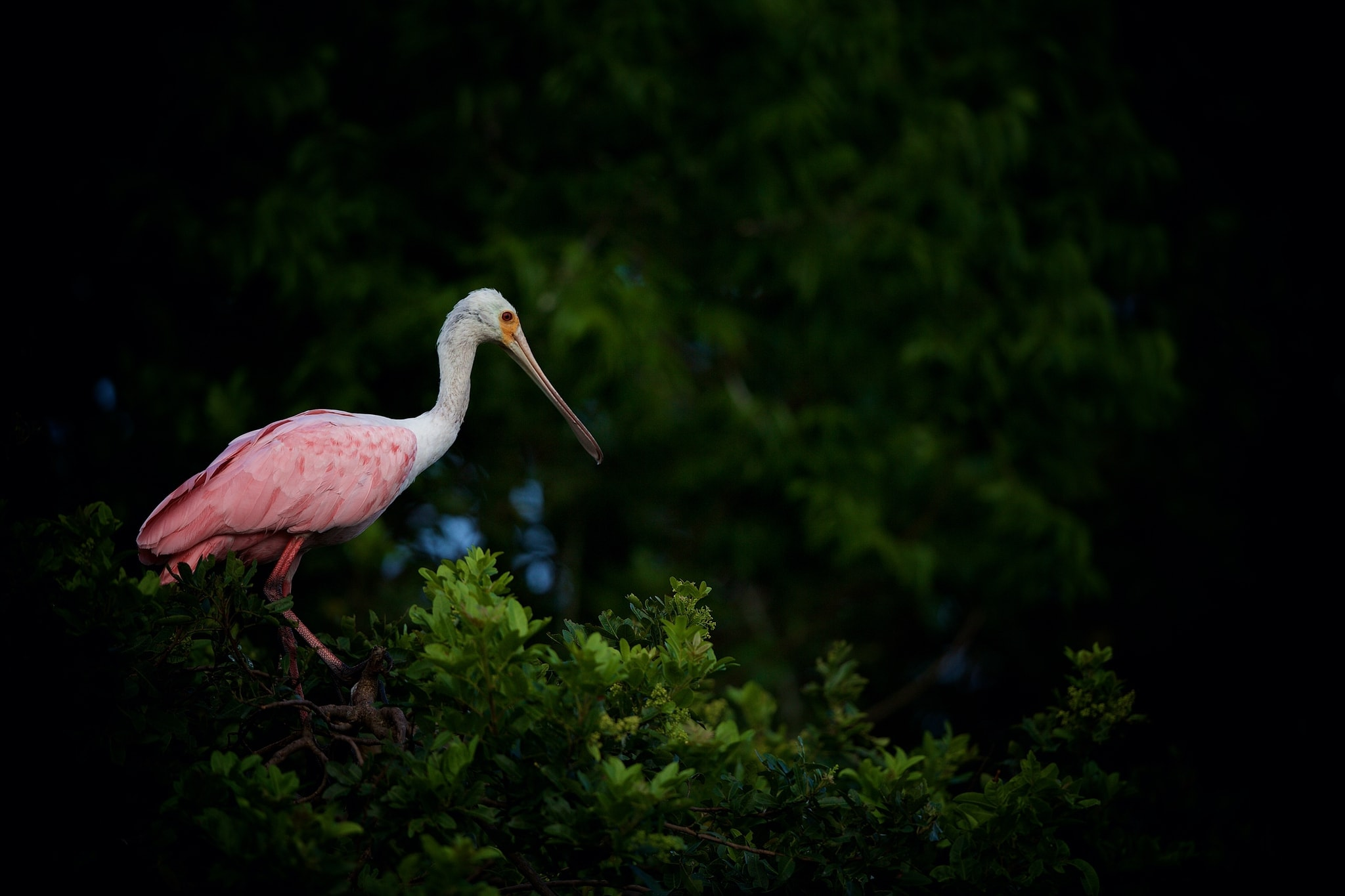 One Of The Roseate Spoonbills At A Rookery Site Image Captured During The Ospreys Of Blue Cypress Lake Photography Holiday