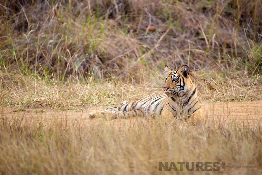 A Bengal Tiger Cub photographed on a NaturesLens Bandhavgarh Photography Holiday in India